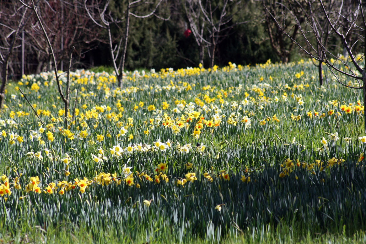 Daffodil Meadow at Filoli
