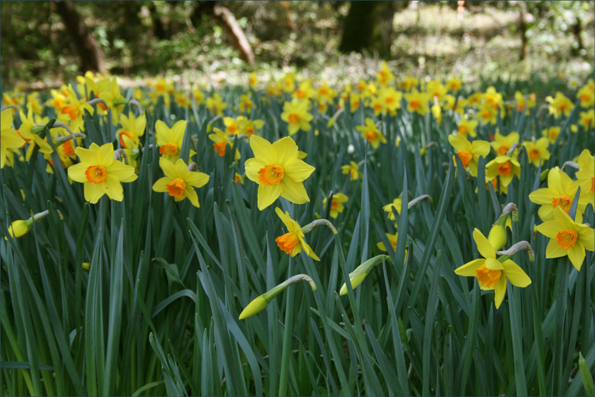 Daffodils at the Filoli Entrance