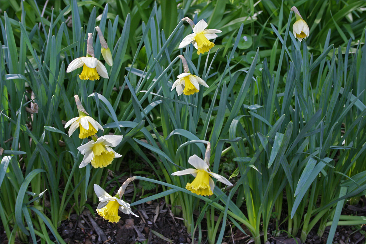 Large Corolla Narcissus at Filoli