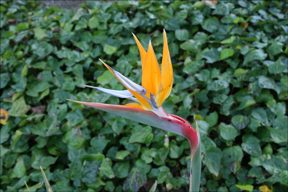 Bird of Paradise Flower at the Oakland Temple