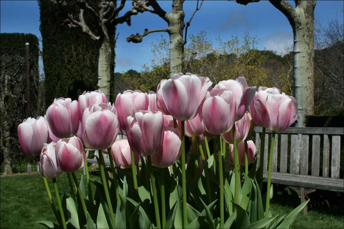 Potted Pink Tulips at Filoli