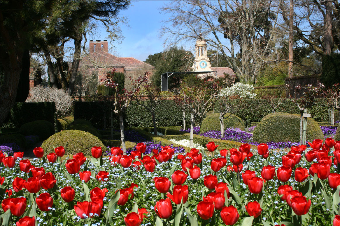Red Tulips at Filoli