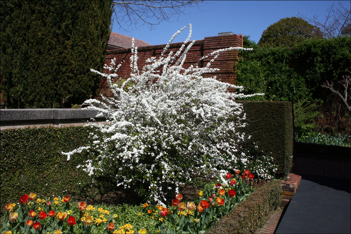 Spirea prunifolia - Bridal-Wreath Spirea at Filoli