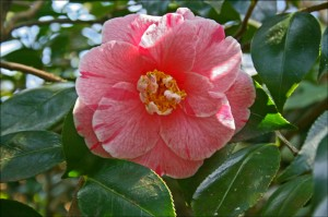 Camellia japonica 'Choyo No Nishiki'