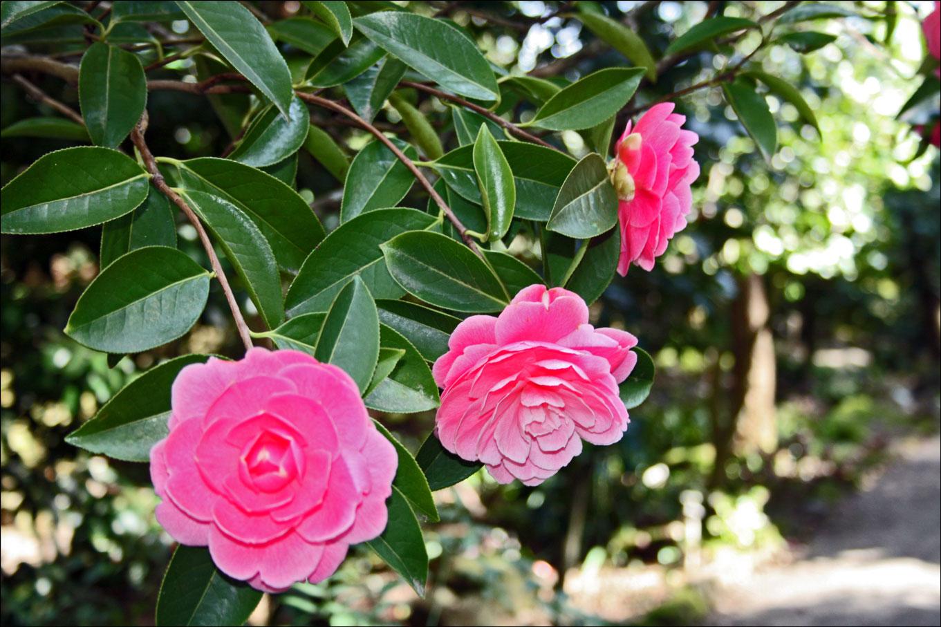 camellias at filoli steve 39 s genealogy blog. Black Bedroom Furniture Sets. Home Design Ideas