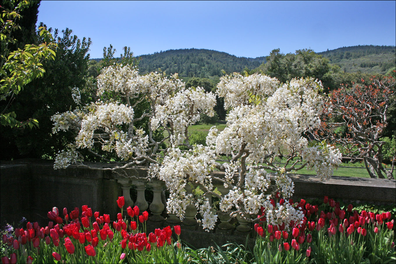 White Wisteria at Filoli