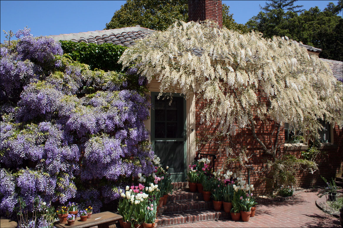 Wisteria at the Filoli Office