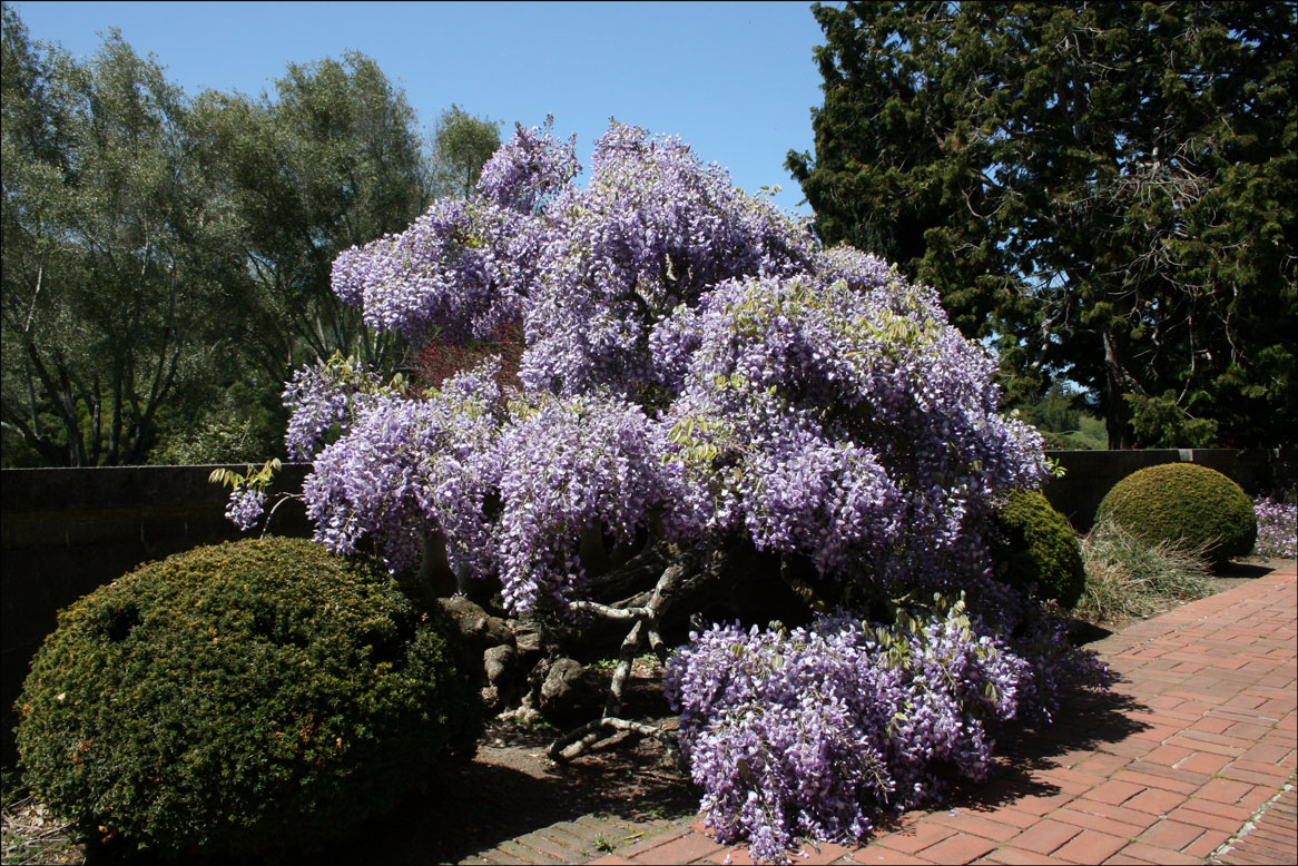 Wisteria by the Walk at Filoli