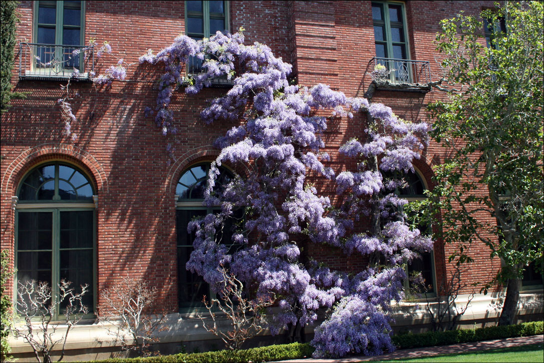 Wisteria on the Main House at Filoli