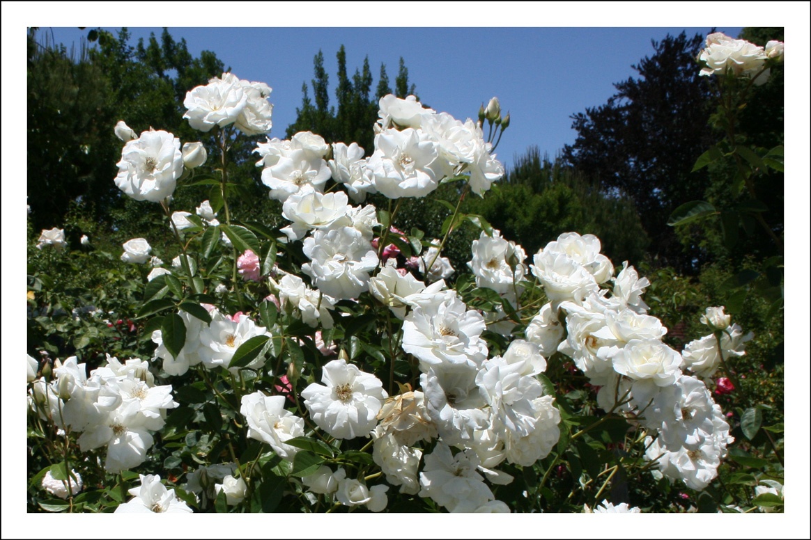 Rose season at filoli steve 39 s genealogy blog for Rosa iceberg