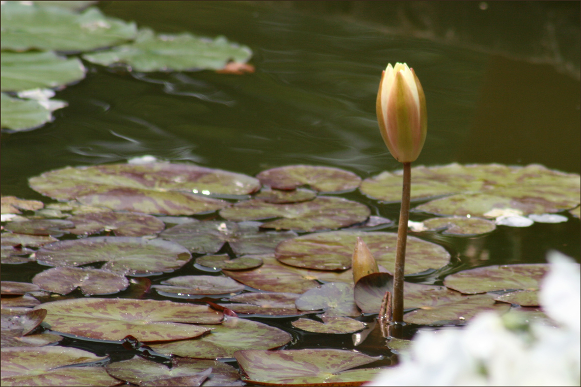 Water Lily (Nymphaea) Bud