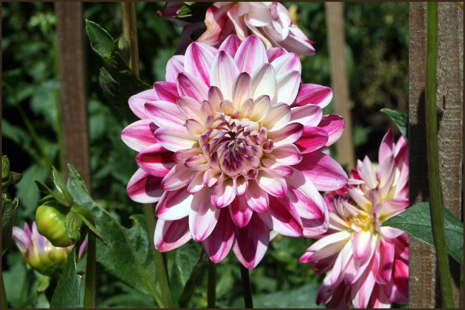 Dahlia 'Wine and Roses'