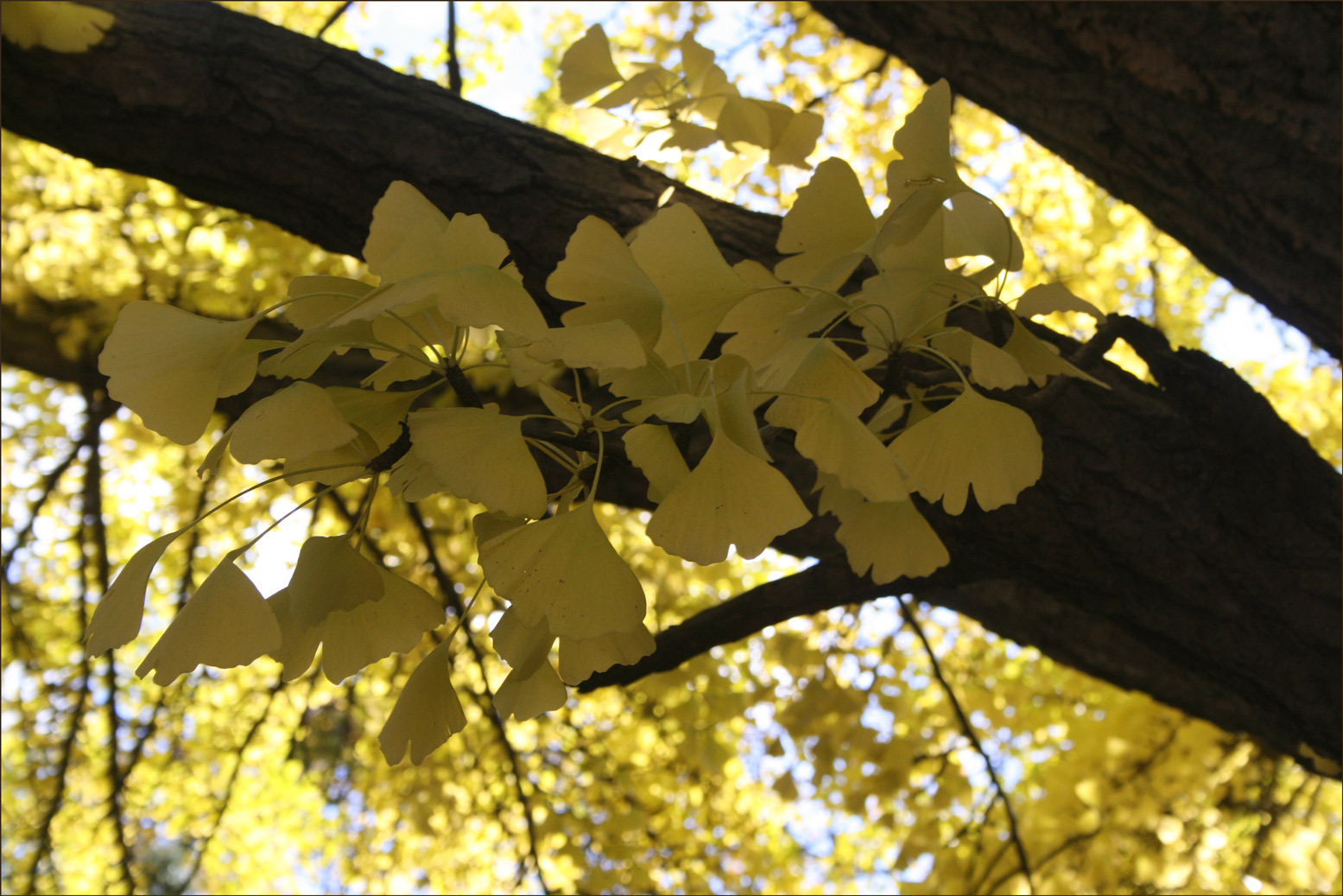 Ginkgo biloba in Washington Park in Albany New York