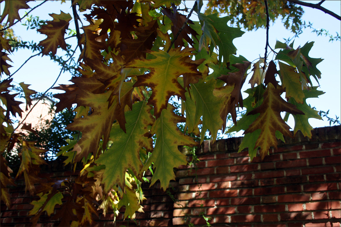 Oak Leaves at Filoli