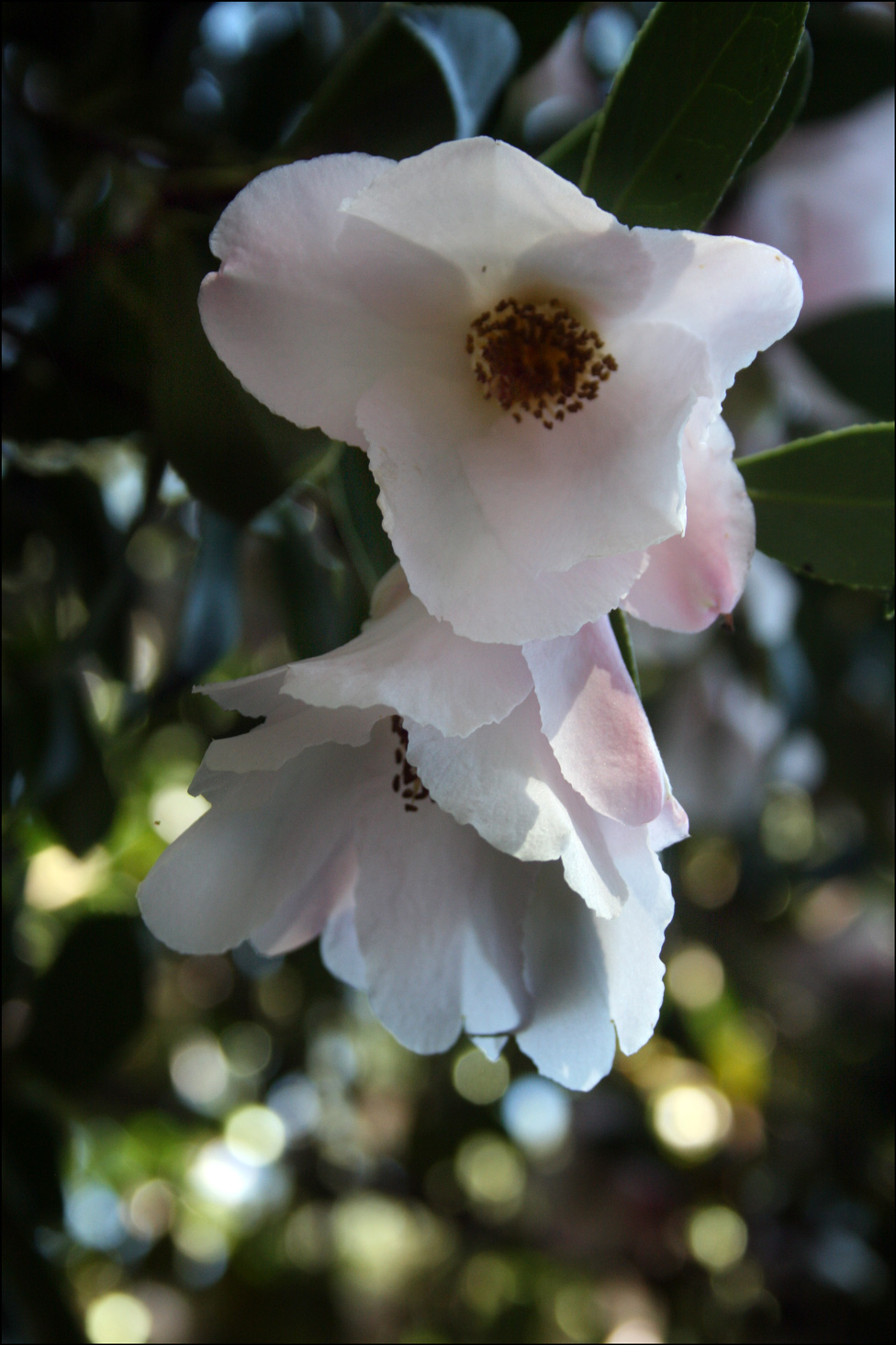 Camellia saluenensis x japonica 'Holland Orchid'