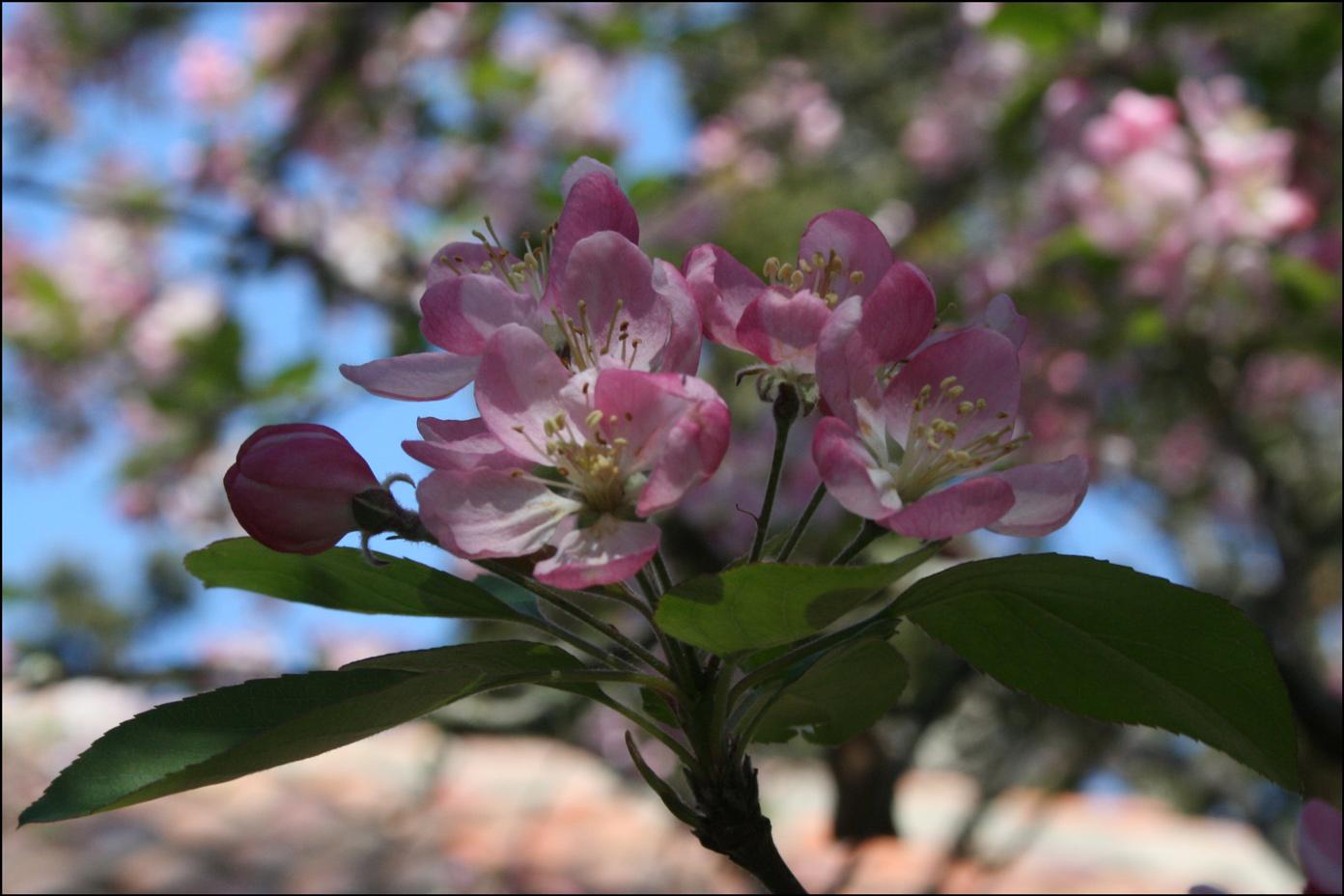 Malus floribunda - Showy Crabapple