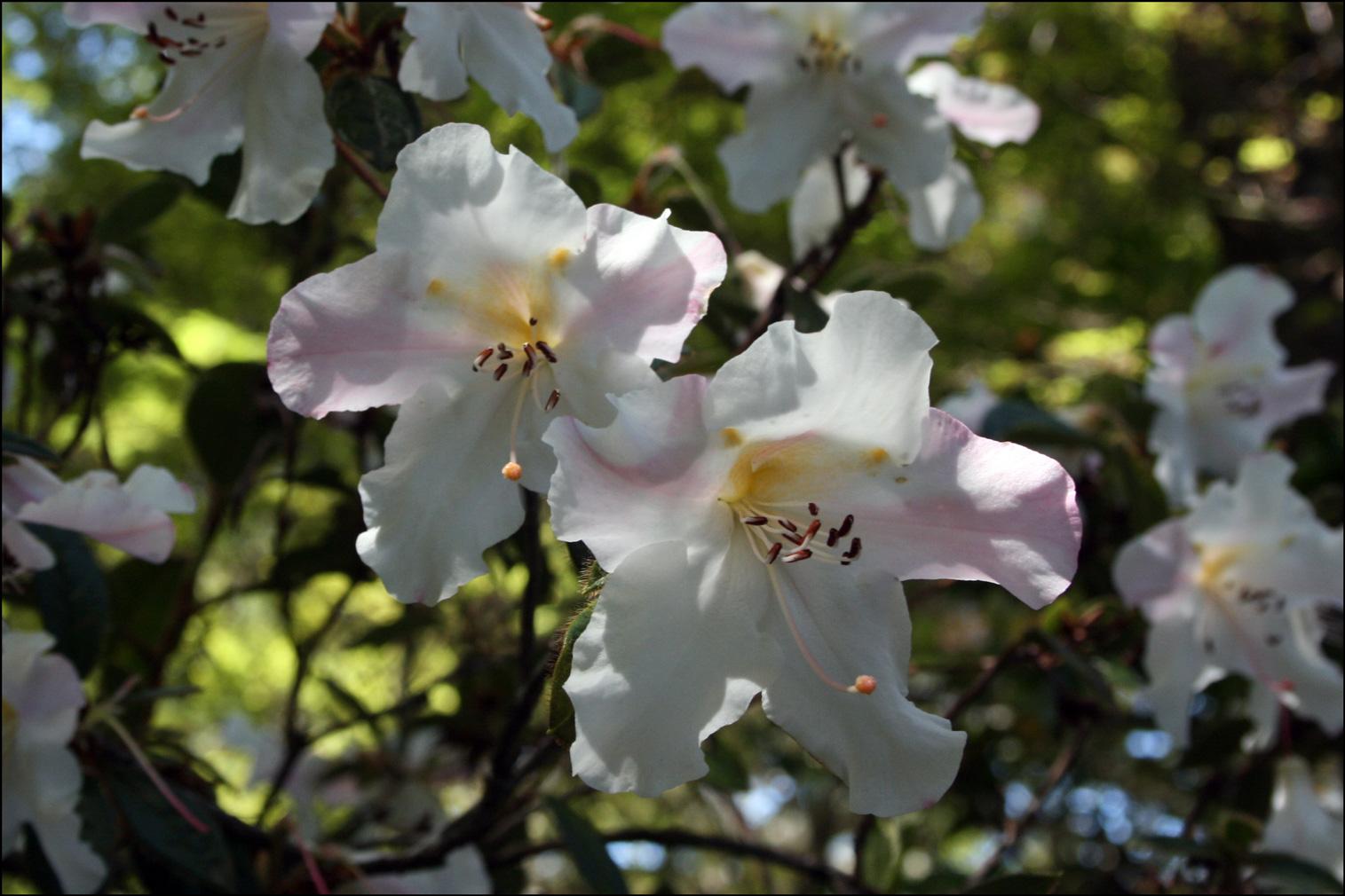 Rhododendron 'Else Frye'