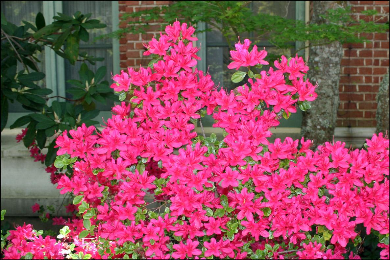 Rhododendron 'Hinodegiri'