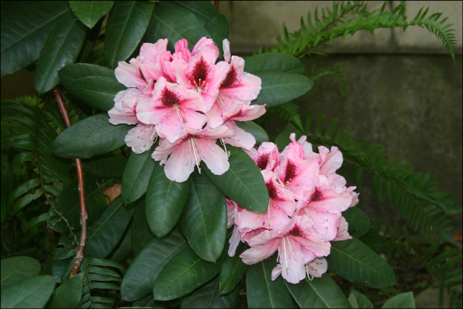 Rhododendron 'Mrs. G. W. Leak'