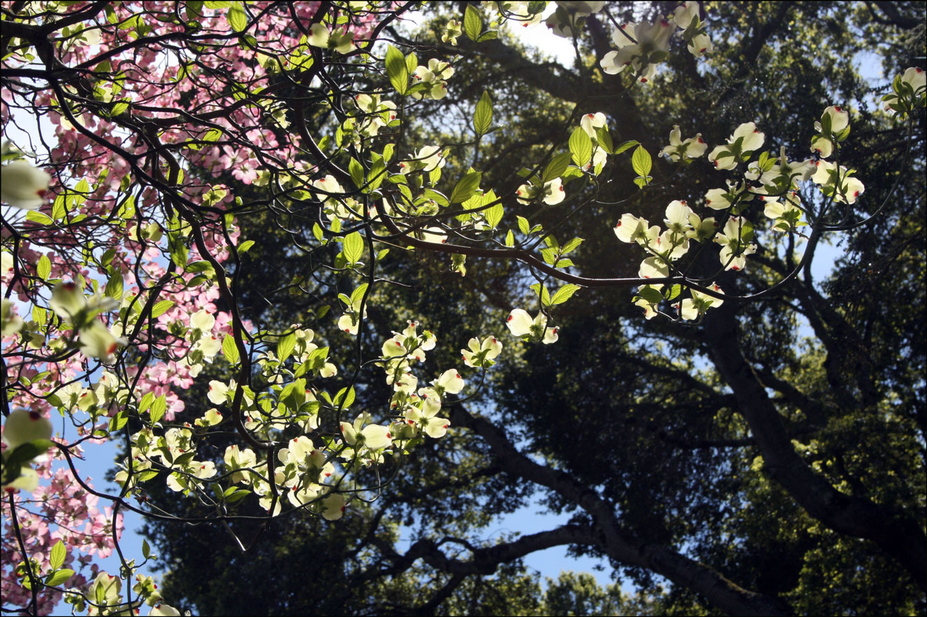 Dogwood branches