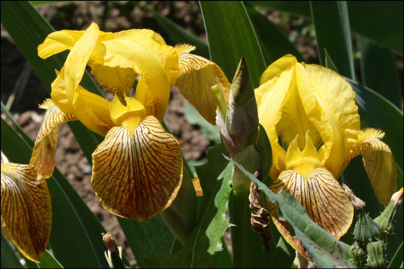 Iris 'Honorible'