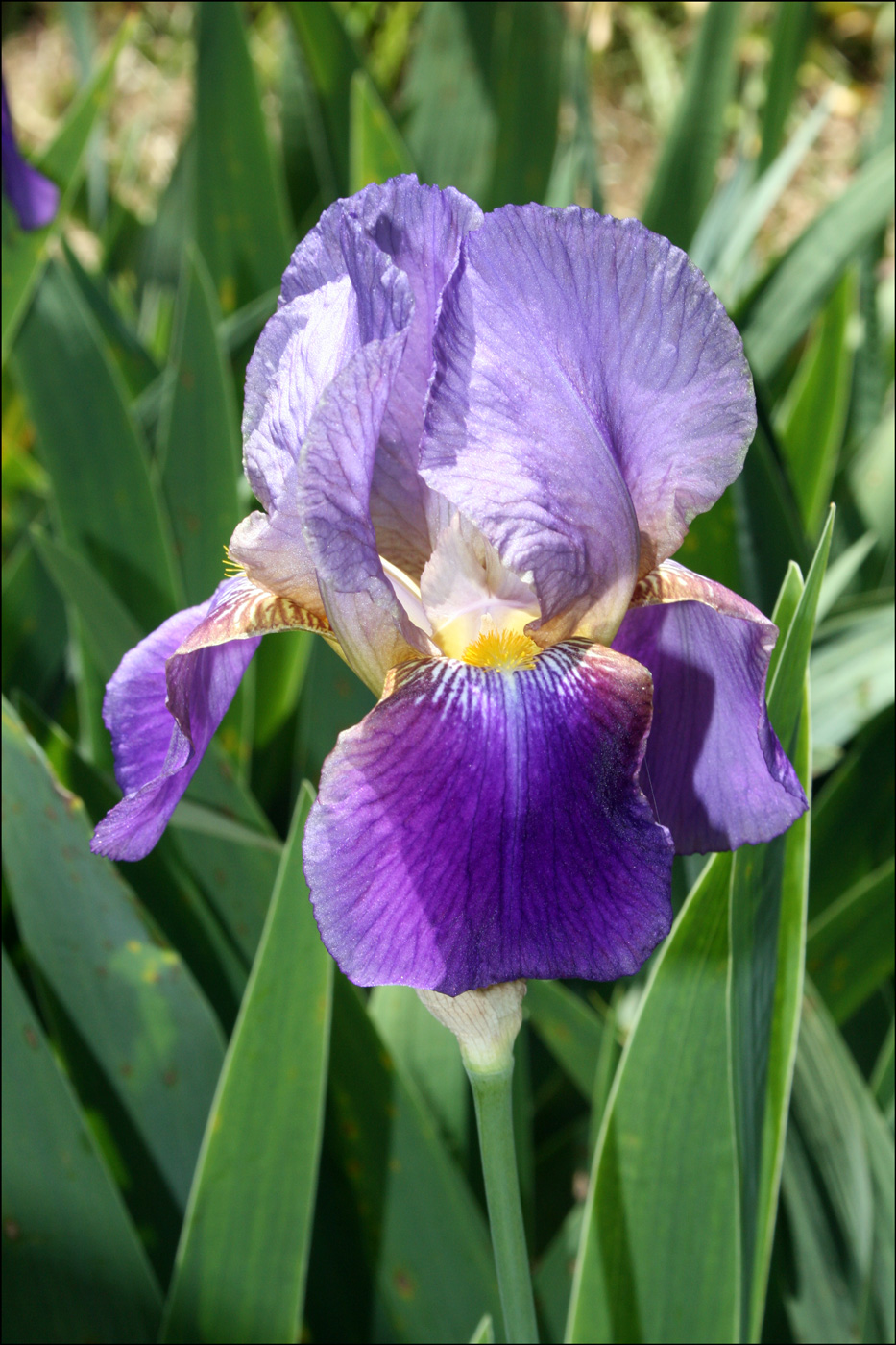 Iris 'Lent Williamson'