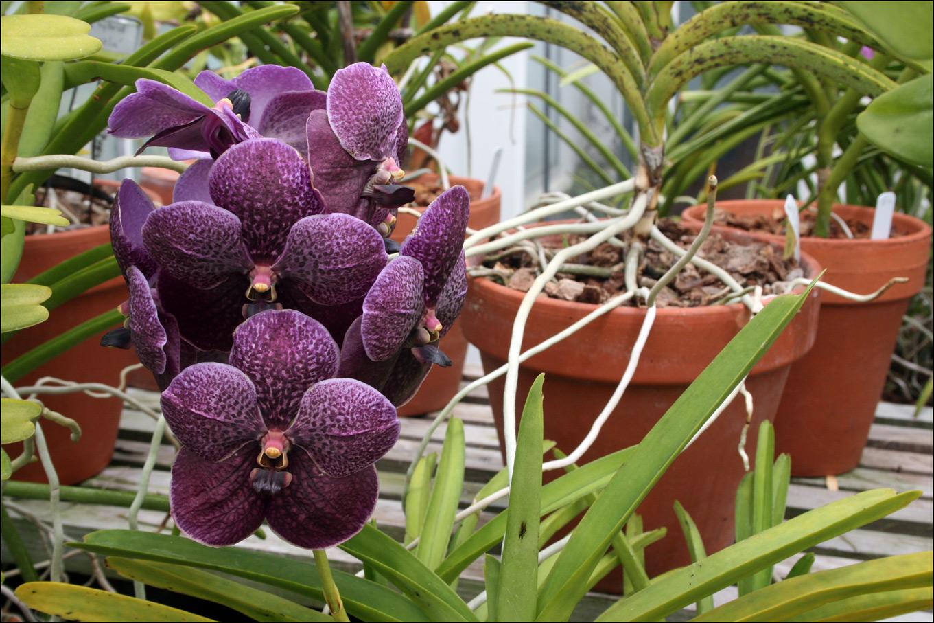 http://stephendanko.com/blog/wp-content/uploads/2009/05/Orchid-Vanda-delight.jpg