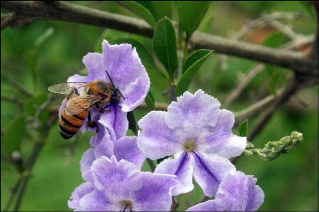 Bee on Brazilian Skyflower