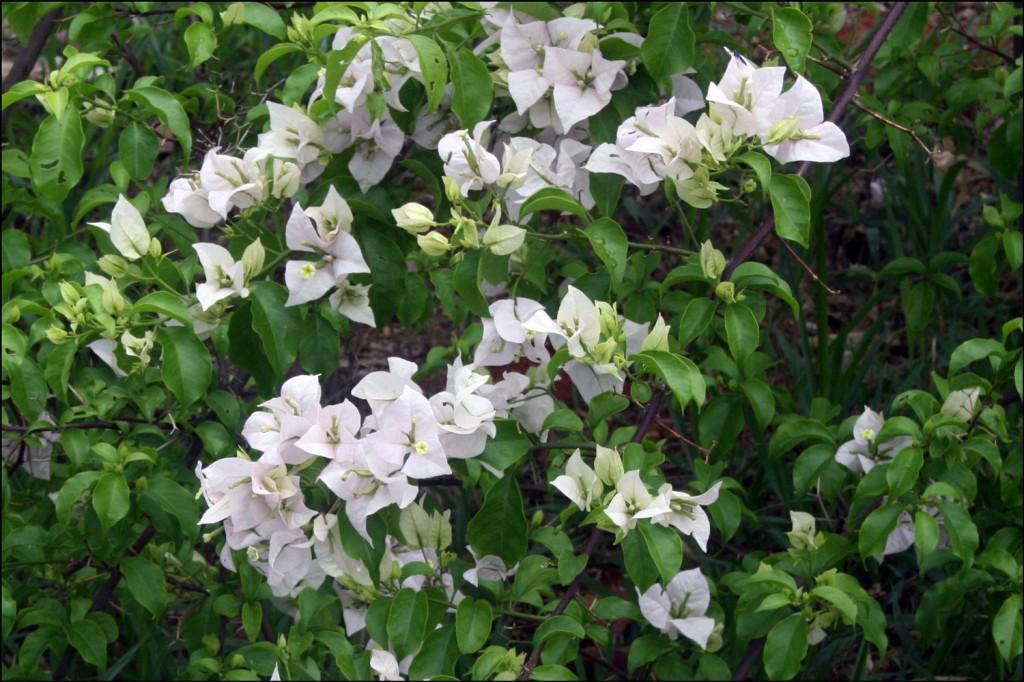 Bougainvillea (Bougainvillea sp.)