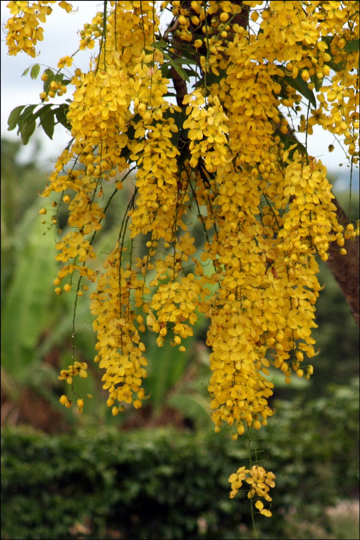Golden shower ( Cassia fistula )