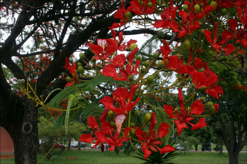 Flamboyant tree (Delonix regia)