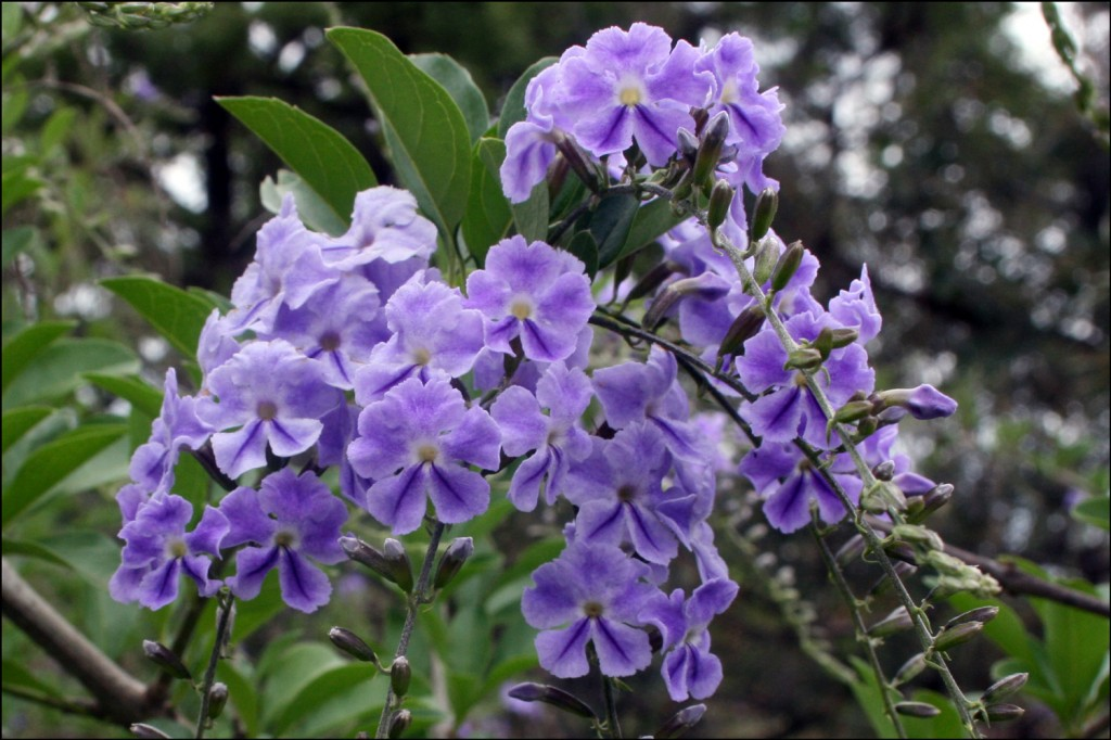 Brazilian skyflower (Duranta erecta)
