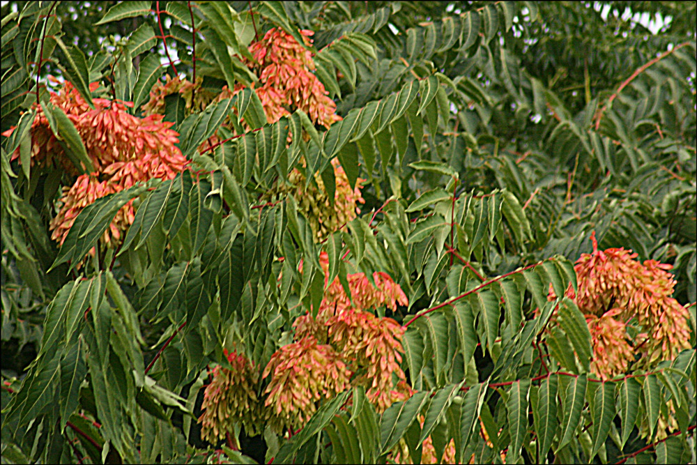 Ailanthus altissima (Tree of Heaven)
