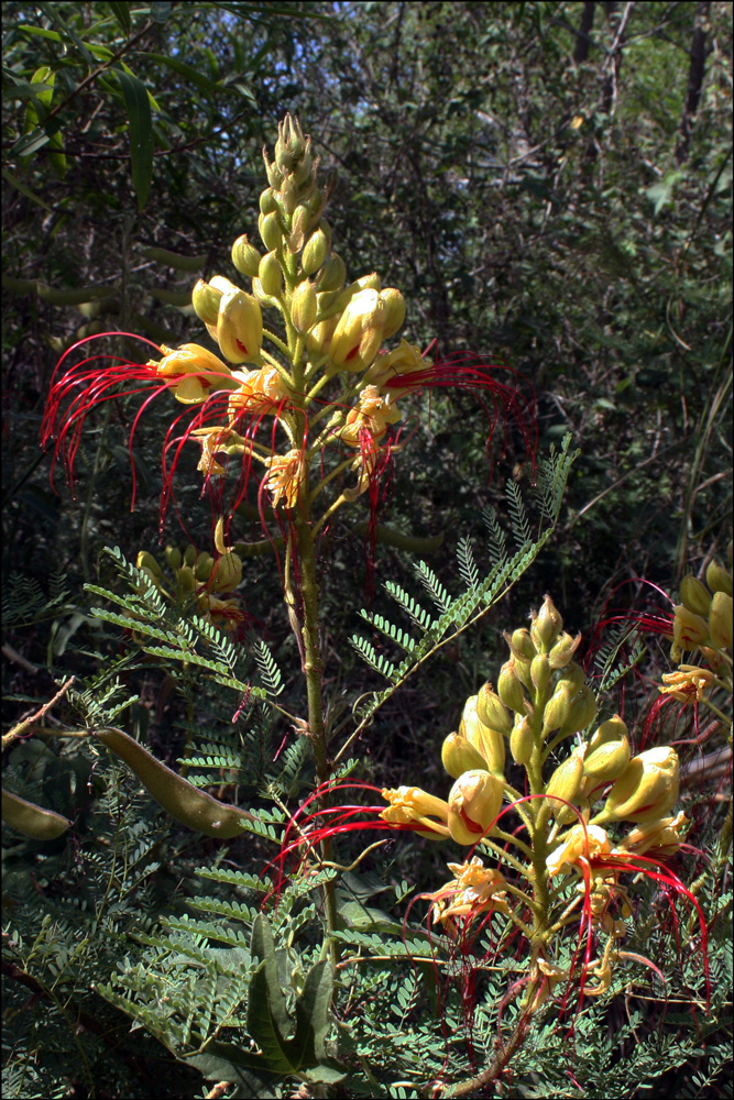 Caesalpinia gillesii (Yellow Bird of Paradise)