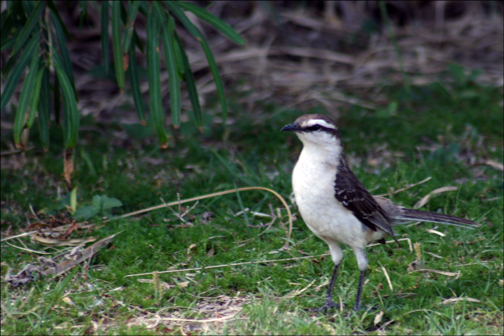 Mimus saturninus (Chalk-browed Mockingbird)