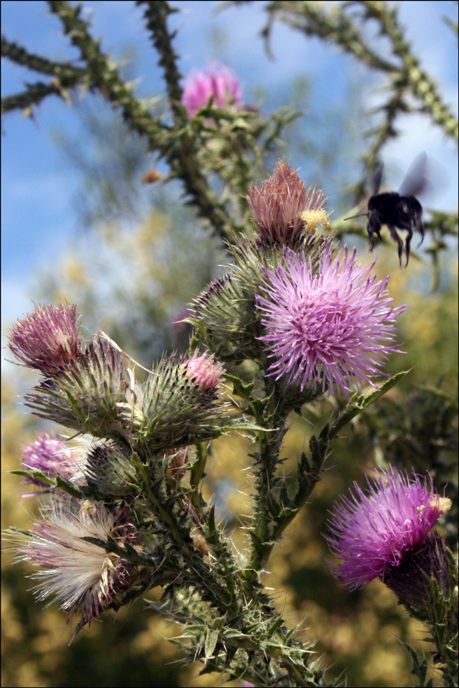 Cirsium vulgare (Bull Thistle or Spear Thistle)