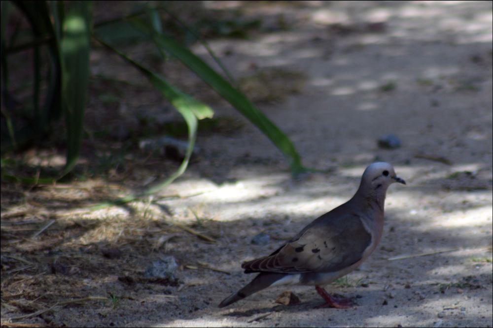 Zenaida auriculata (Eared Dove)