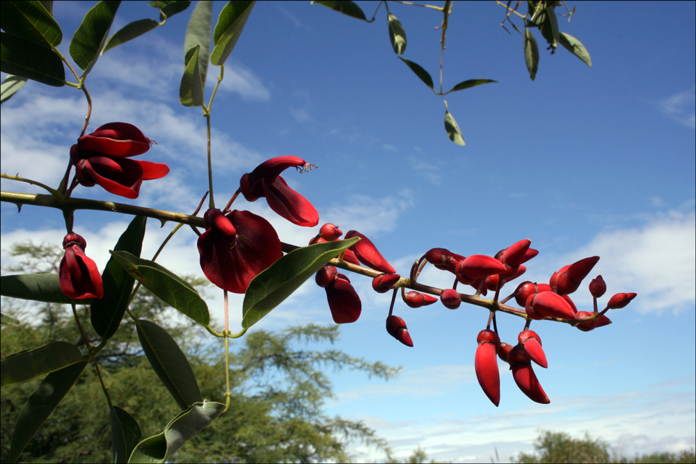 Erythrina crista-galli (Cockspur Coral Tree, Ceibo, or Seíbo)