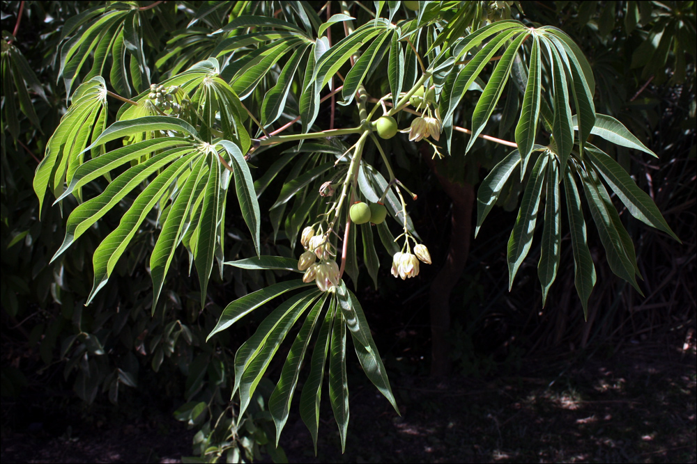 Unknown Plant with Globose Fruit