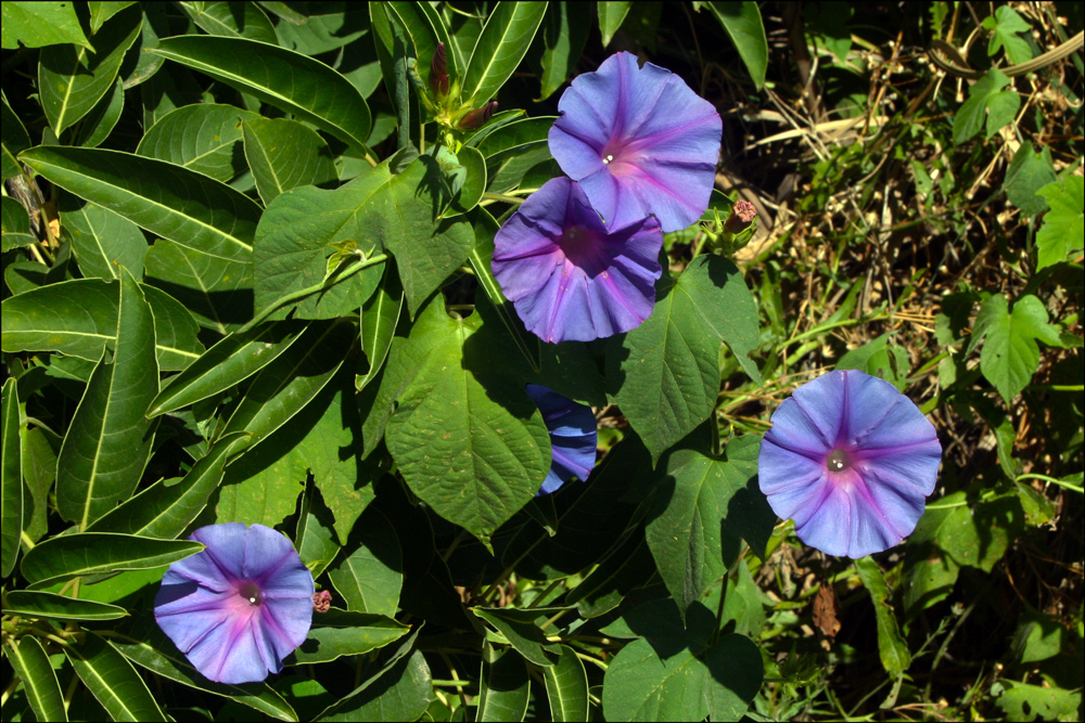 Ipomoea purpurea (Common Morning Glory)