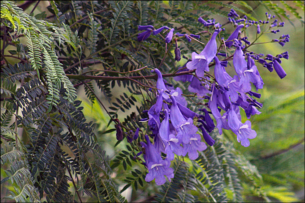 Jacaranda mimosifolia (Jacaranda)