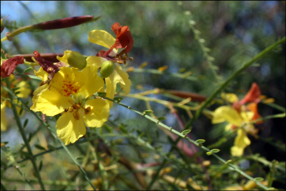 Detail of Parkinsonia aculeata (Mexican Palo Verde)