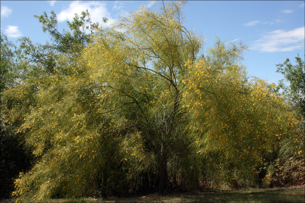 Habit of Parkinsonia aculeata (Mexican Palo Verde)