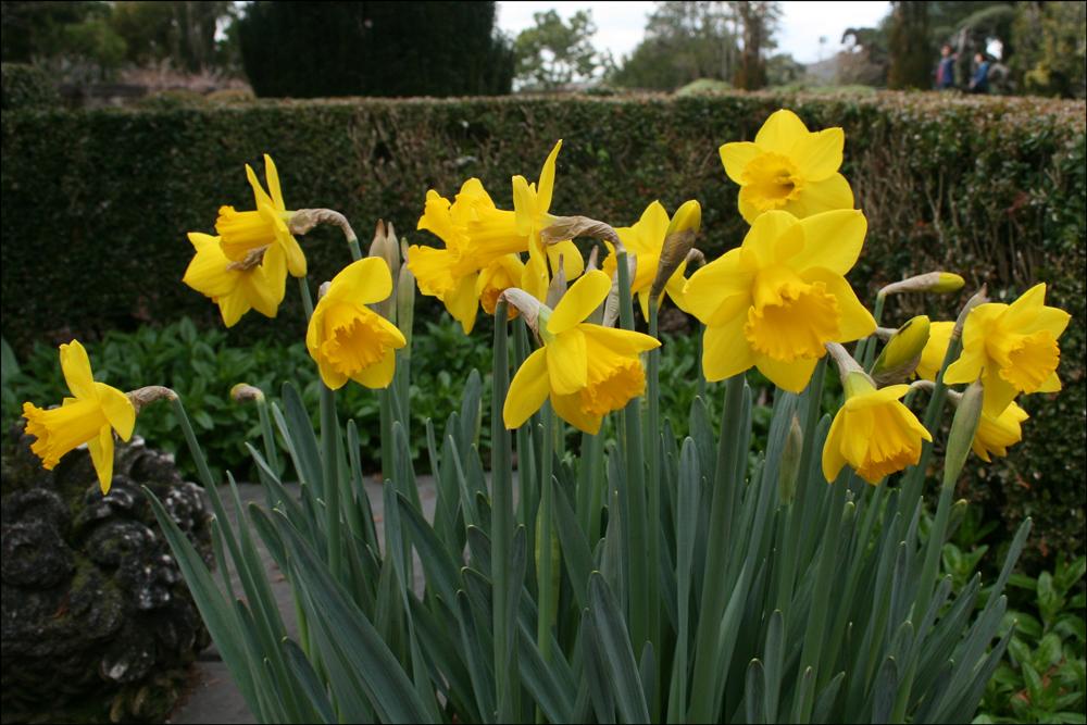 Narcissus 'Saint Keverne