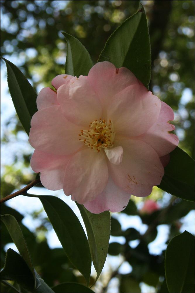 Camellia japonica 'Dr. Tinsley'