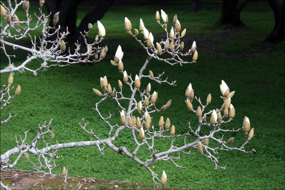 Magnolia cylindrica (Cylindrical Magnolia)