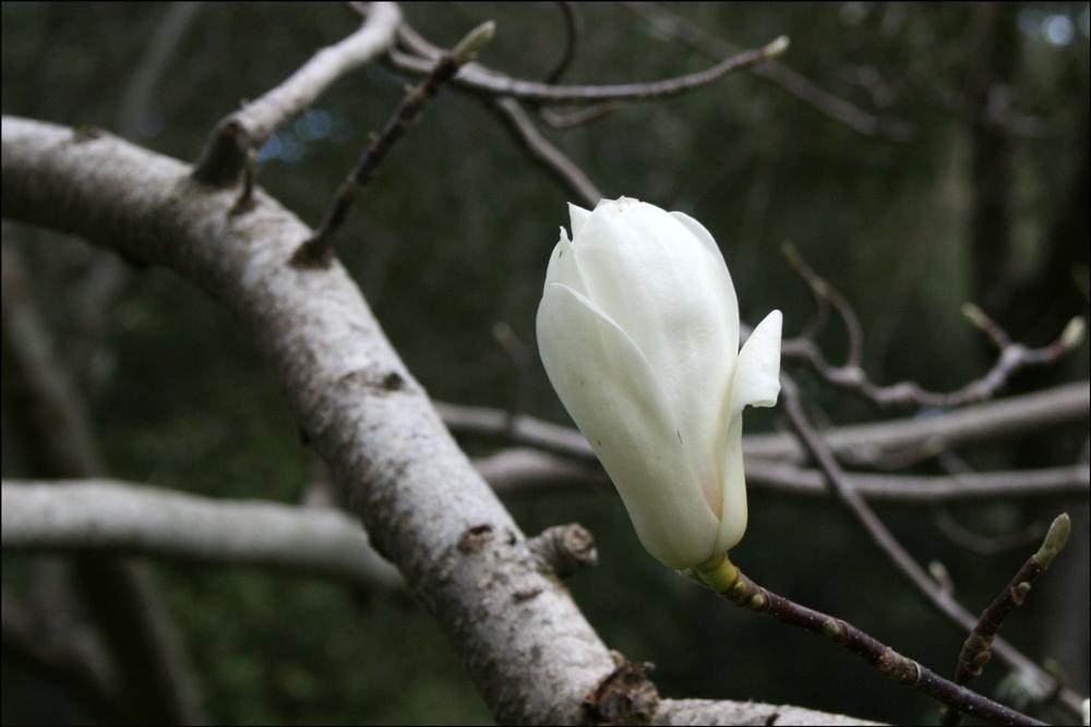 Magnolia denudata (Yulan Magnolia)