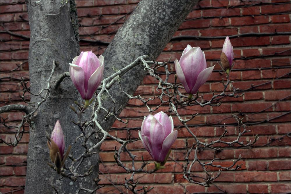 Magnolia x soulangiana (Saucer Magnolia)