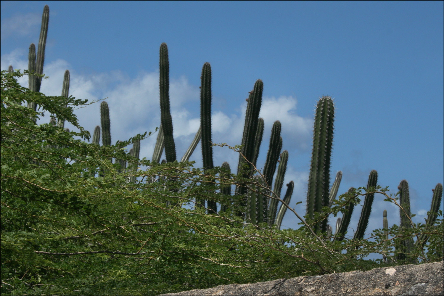 Acacia and Cactus