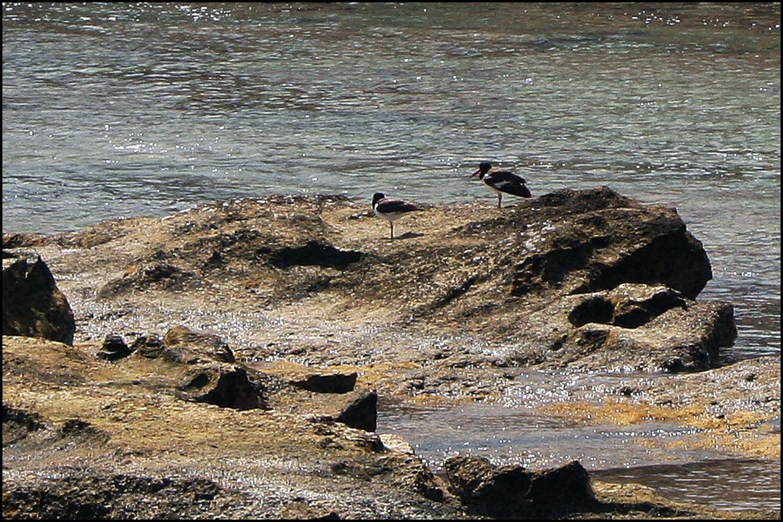 American Oystercatchers (Haematopus palliatus)